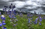 lake_clark_wildflowers__alaska_us