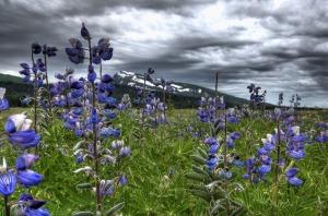lake_clark_wildflowers__alaska_us