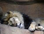 lazy-lion