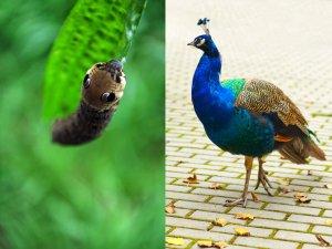 peacock_caterpillar